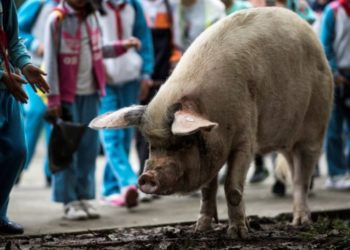 China lamenta la muerte de cerdo que sobrevivió a un fuerte terremoto