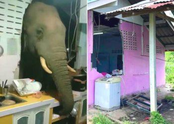 Elefante salvaje rompe la pared de la cocina y se roba una bolsa de arroz de una vivienda