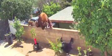 Mujer defiende a sus perros de una osa y sus dos crías a su vivienda