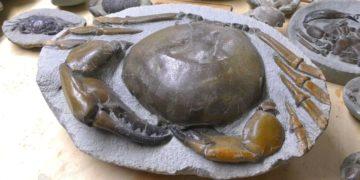 Joven descubre un cangrejo en una roca fósil