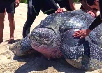 Jóvenes se unen para rescatar a una tortuga gigante que quedó varada en un pantano
