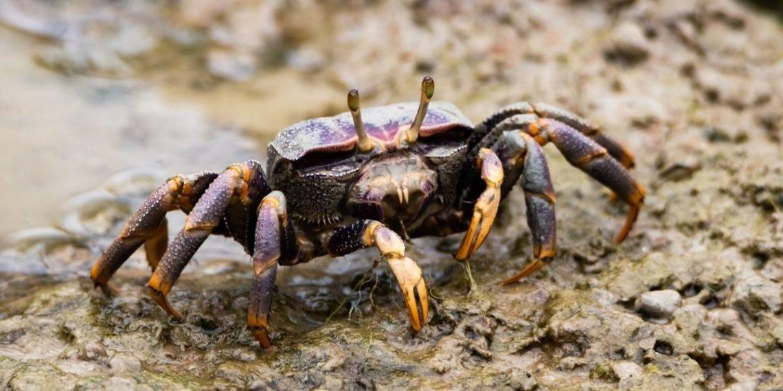Los antidepresivos están afectando el comportamiento de cangrejos de río