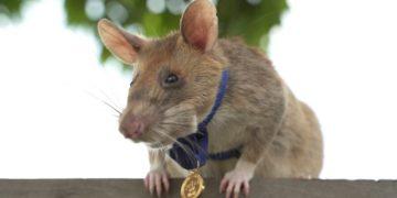 Magawa, la rata que se jubila tras detectar minas y bombas en Camboya
