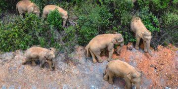 Manada de elefantes atraviesa varias ciudades de China