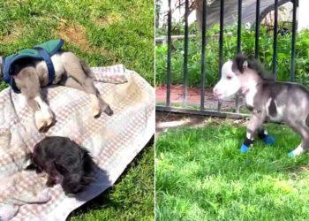 Peabody, el caballo miniatura que fue rechazado por su mamá y se volvió amigo de unos perros