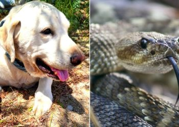 Perro salva a su dueño de una cascabel pero es mordido por la serpiente