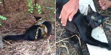 Rescatan gato que fue atrapado por una pitón de 3 metros y logran reanimarlo para salvarle la vida