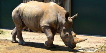 rinoceronte blanca