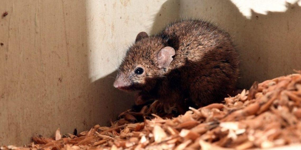 Un plaga de ratones obliga a evacuar a cientos de presos de una cárcel de Australia