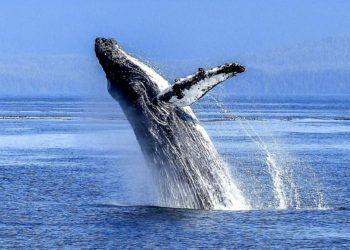 Una ballena jorobada intentó tragarse a un pescador en Estados Unidos