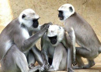 Mono recibe un conmovedor abrazo de su manada luego de ser liberado