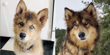 la transformación de una cachorra a una loba