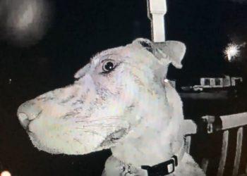 Perro regresa y toca el timbre