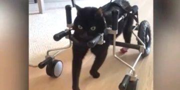 Gato discapacitado camina con una silla de ruedas tras ser abandonado