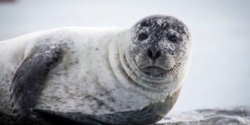 Foca de Saimaa, la lucha de Finlandia por salvarla de la extinción