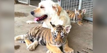 Perra adopta a tres cachorros de tigre que fueron abandonados por su madre en un zoológico de China