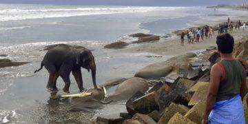 Rescatan pareja de elefantes salvajes que quedó atrapada en una playa