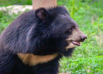 Familia compró un perro y cuando creció en realidad era un oso asiático