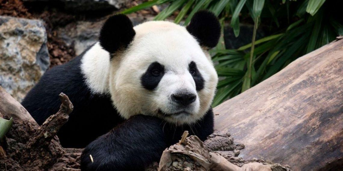 """China asegura que el oso panda ya no estaría en """"peligro"""" de extinción"""