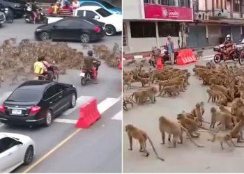 Dos pandillas de monos salvajes se enfrentan por comida en una calle y desatan el caos en Tailandia