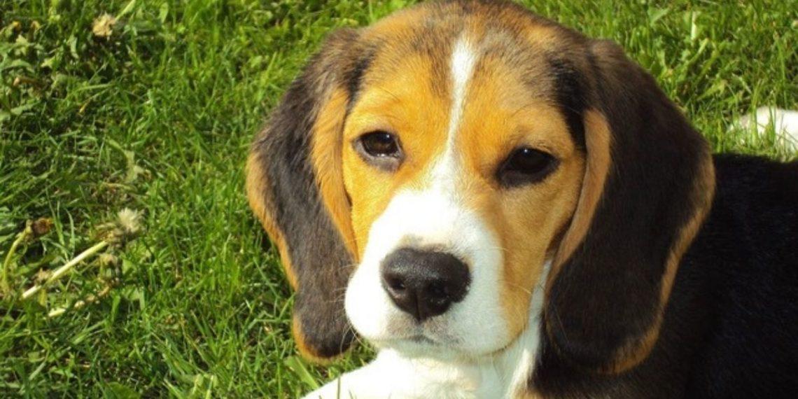 Perro beagle le agradece a un hombre que le salvó la vida con un abrazo