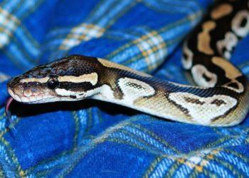 Serpientes en sanitarios: Pitón muerde a un hombre cuando estaba sentado en el inodoro