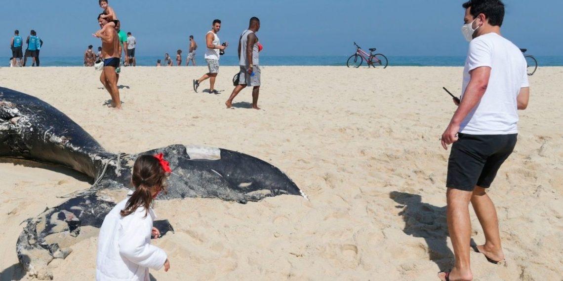 ballenas jorobadas en Brasil