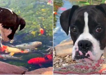 Perrita bóxer se vuelve amiga inseparable de unos peces koi