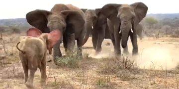 El conmovedor momento en el que un elefanta albina huérfana es recibida por su nueva manada