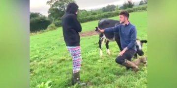 Joven granjero le propone matrimonio a su novia en medio de un hato de vacas