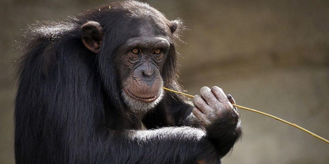 Zoológico veta a una mujer por tener un supuesto 'romance' con un chimpancé. Foto: Pixabay