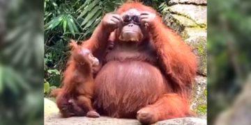 Orangután se pone las gafas de sol que perdió una mujer en un zoológico