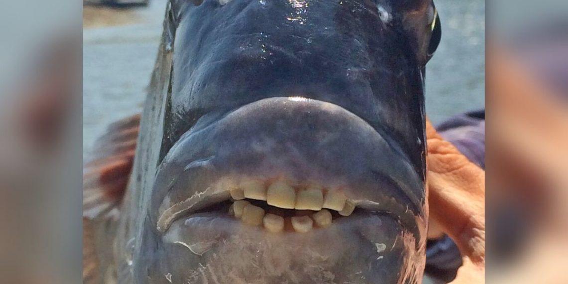 Pescadores capturan en EE.UU. a un pez con dientes similares a los de los humanos. Foto: Departamento de Recursos Naturales de Carolina del Norte.