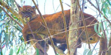 Puma es rescatado de la cima de un árbol