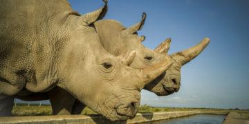 Crean embriones para salvar al rinoceronte blanco del norte de la extinción