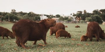 Capibaras invaden Nordelta, uno de los barrios más ricos de Buenos Aires
