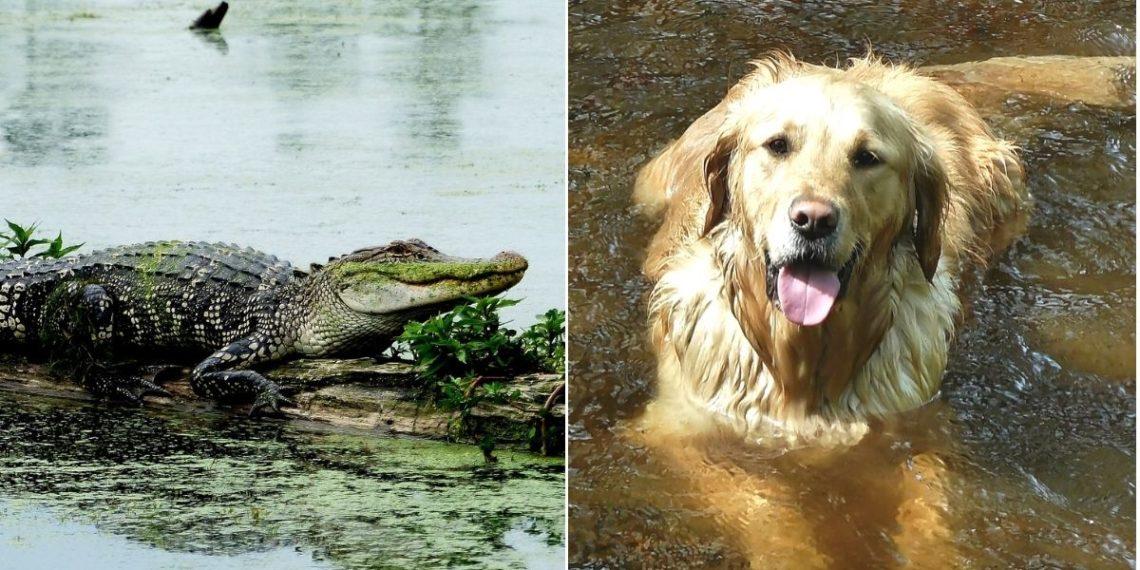 Mujer de 74 años arriesga su vida por salvar a su perro que había sido atrapado por un cocodrilo. Foto: Pixabay