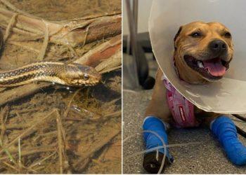 Valiente perrita es mordida por una serpiente venenosa al intentar proteger a su pequeño hermano