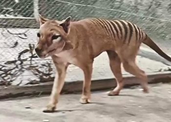 El tigre de Tasmania se extinguió oficialmente en el año 1936. Foto: NFSA