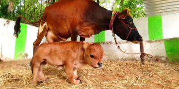 Una vaca tuvo a un adorable ternero enano que mide menos de 30 centímetros. Foto: Newsflare.
