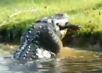 El enorme caimán devora a otro de menor tamaño en un solo bocado. Foto: AP/ StoryFul: