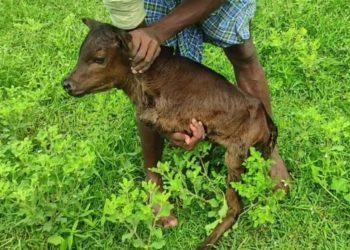 Nace ternero de solo dos patas y sus dueños esperan que pueda caminar. Foto: Newsflare
