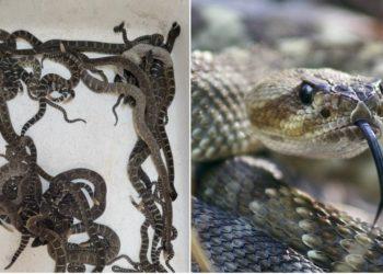Rescatan cerca de 90 serpientes de cascabel que estaban enredadas en la casa de una mujer en EE.UU. Foto: Pixabay/ Sonoma County Reptile Rescue